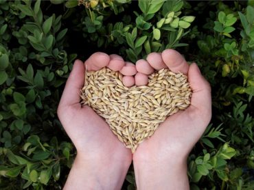 hands against background of green leaves forming a heartshaped cup filled with grain